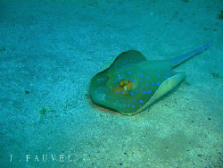 Nice little blue spotted ray! by Jake Fauvel 